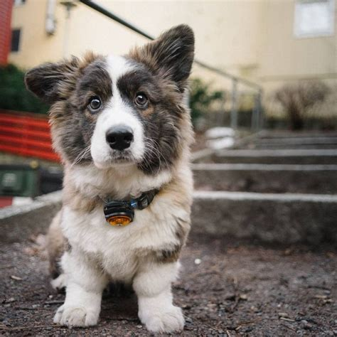 fluffy corgi puppies for sale 25 best ideas about corgi puppies on pembroke corgi puppies