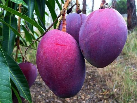 Tanaman Mangga Irwin 60cm irwin si mangga ungu yang baik dipanen muda jitunews