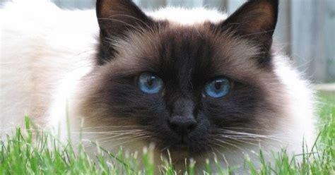 life expectancy of birman cats annie many