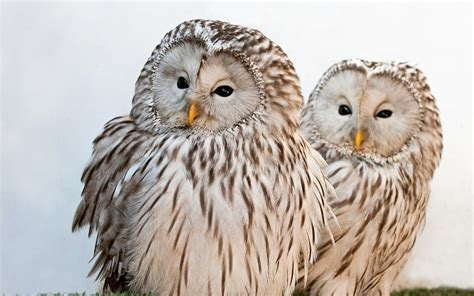ural owls hd desktop wallpapers  hd