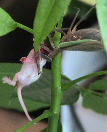 mantis eats mouse staged photo or documentation of nature