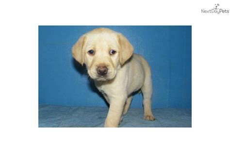 lab puppies for sale in ny labrador retriever for sale for 600 near tiers ny pa new york 0bed68b3 97e1