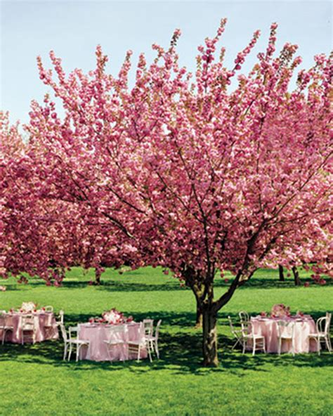 pictures of cherry blossom trees blossoming trees for weddings b lovely events