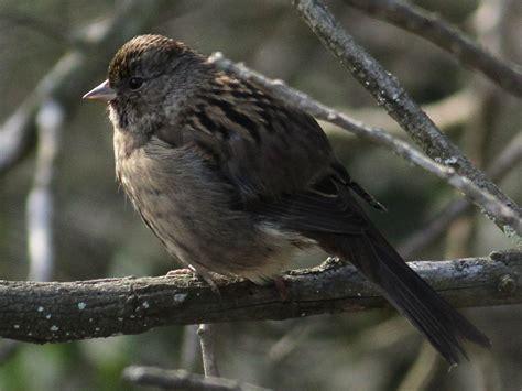 sparrows san diego birding