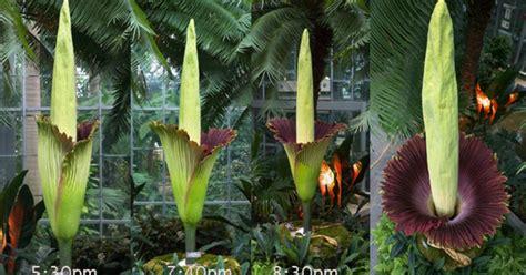 Us Botanic Garden Corpse Flower Quot Corpse Flower Quot Blooming At U S Botanic Garden Cbs News