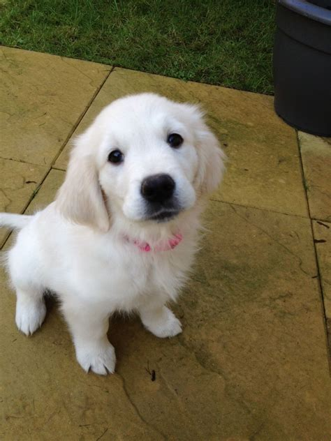 4 week golden retriever 10 week golden retriever puppy saffron walden essex pets4homes