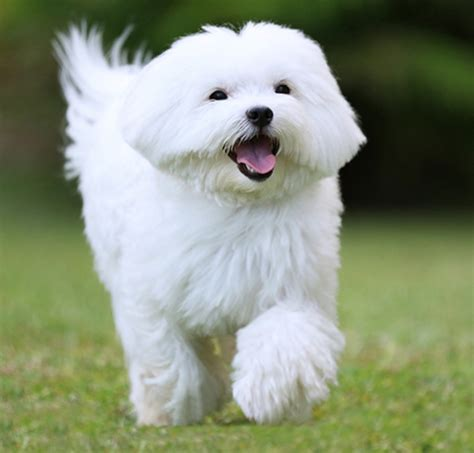how much are maltese puppies best quality maltese puppies for sale singapore 2017