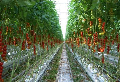 backyard farms maine tomato farming information guide asiafarming com