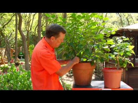 gardenia care guide why didn t i think of that gardening tips caring for hibiscus plants youtube