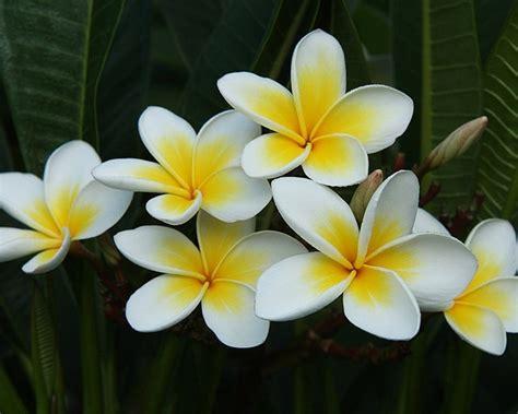 pomelia fiore frangipani pomelia plumeria rubra vivai frappetta