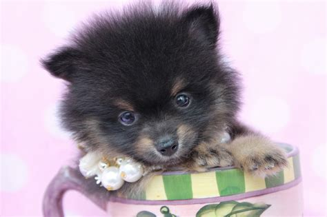pomeranian black puppies 40 pomeranian puppy pictures and photos