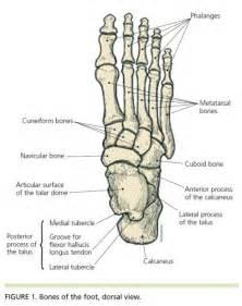 ankle skeleton diagram december 2011