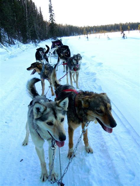 alaska list dogs 17 best images about sled dogs on pictures of running and racing