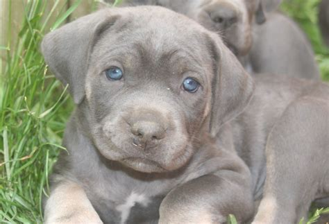 corso puppy blue corso puppies last two fareham hshire pets4homes