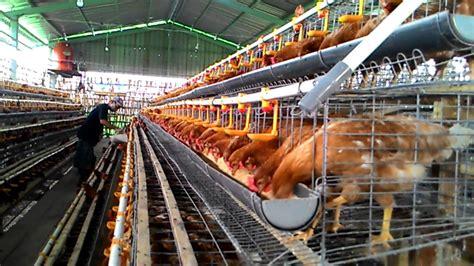 Bibit Ayam Ras Petelur telur ayam ras petelur 6