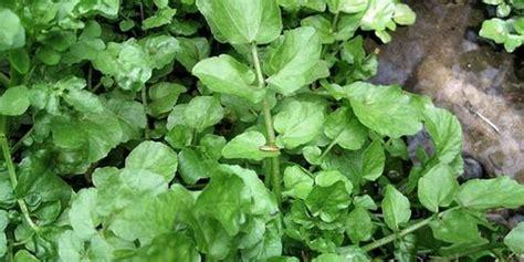 selada air sayuran hijau pencegah kanker hingga obat