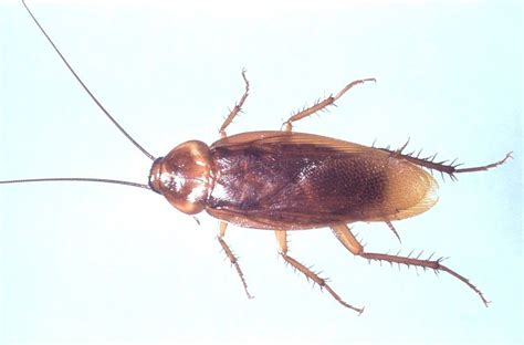 house roaches most common insect infesting arizona homes responsible pest control responsible
