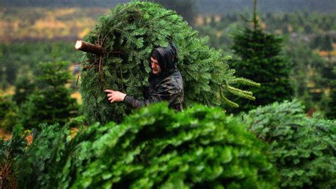 places to cut your own christmas tree in monmouth county nj best places to cut your own tree in the pittsburgh area 171 cbs pittsburgh