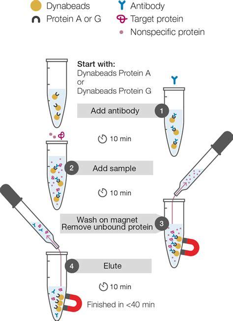 sepharose immunoprecipitation immunoprecipitation thermo fisher scientific