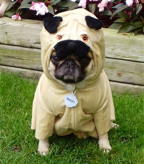 silly pug pugs images pug costume hd wallpaper and background photos 33497960
