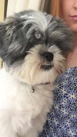 missing shih tzu search the lost shih tzu to find your missing dogs