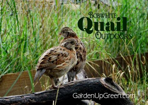 raising backyard quail 17 best images about quail farming on pinterest bobs