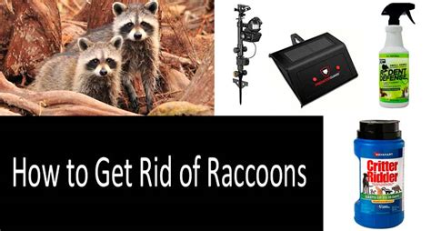 how to get rid of raccoons in backyard how to get rid of raccoons in my backyard how to get rid
