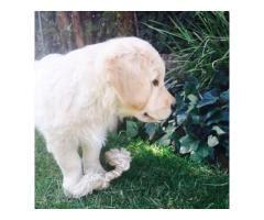 golden retriever puppies for sale sa golden retriever puppies for sale