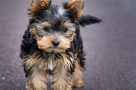 cani di razza piccola per appartamento cani da appartamento caratteristiche dei cani piccoli