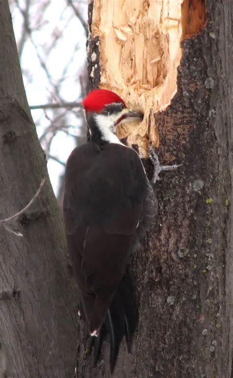 pileated woodpecker bing images