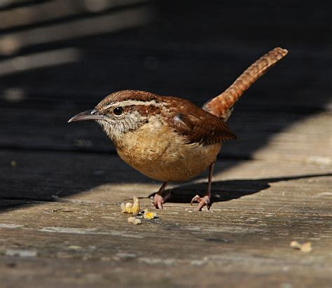 all about birds carolina wren