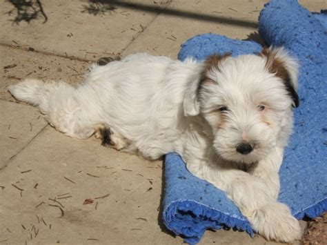 terrier puppy for sale tibetan terrier puppies for sale horsham west sussex pets4homes