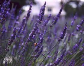 how to plant and care for lavender in the southeast