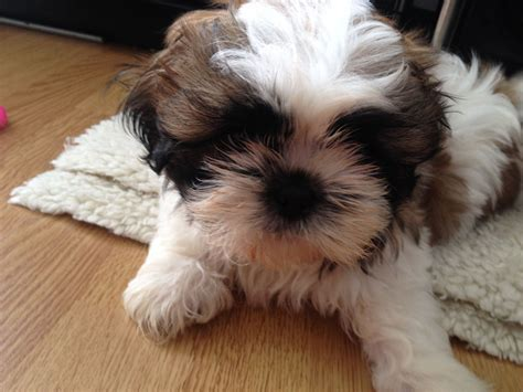 shih tzu puppies for sale in derbyshire 3 adoreable shih tzu puppies for sale derby derbyshire pets4homes