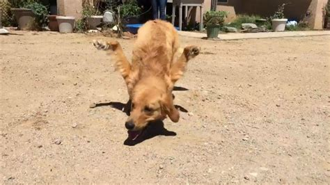 golden retriever limping on front leg fights for born with deformed front legs this s community