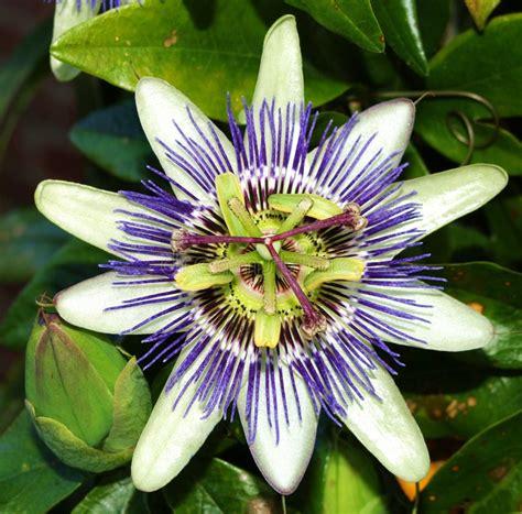 fiore commestibile fiore della passiflora commestibile fotografie stock