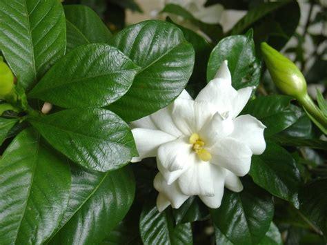 gardenia flower how to kill a gardenia hgtv