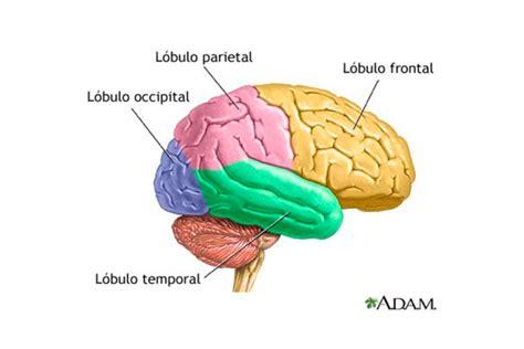imagenes de el cerebro humano la maravilla de las funciones del cerebro humano