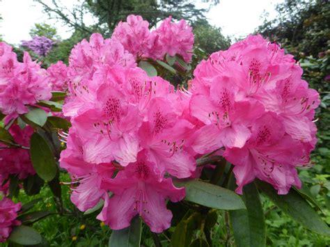 rhododendron philip reddell cuerden valley ranger