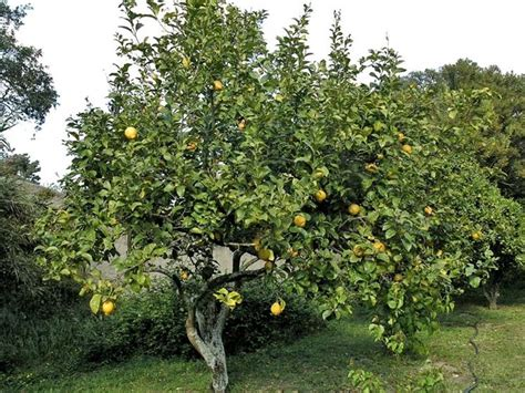 potare il limone in vaso potare il limone potature potatura limone