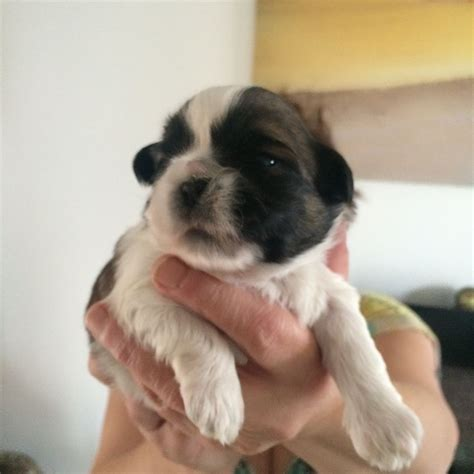 shih tzu puppies available shih tzu puppies available neath neath port talbot pets4homes