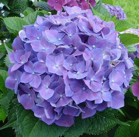 purple hydrangea photograph by ella char