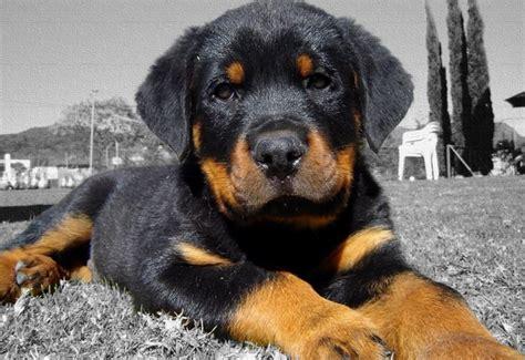 perros rottweiler cachorros perros rottweiler como criarlos y domesticarlos facilmente