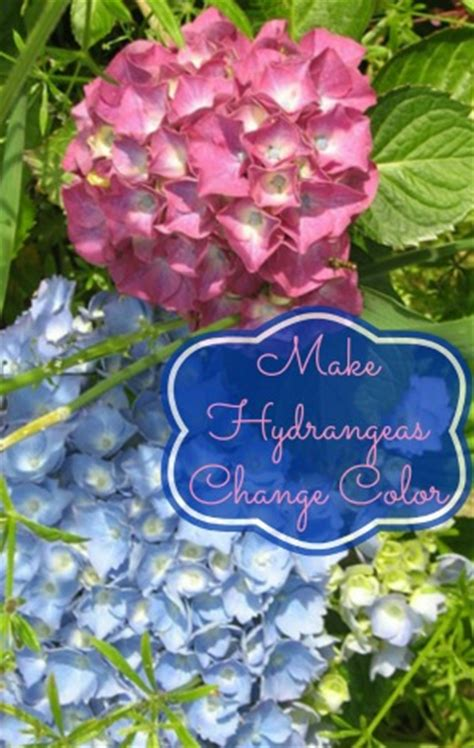 hydrangea change color how to make hydrangeas change colors need to