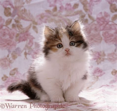Tortoiseshell and white kitten photo WP07659
