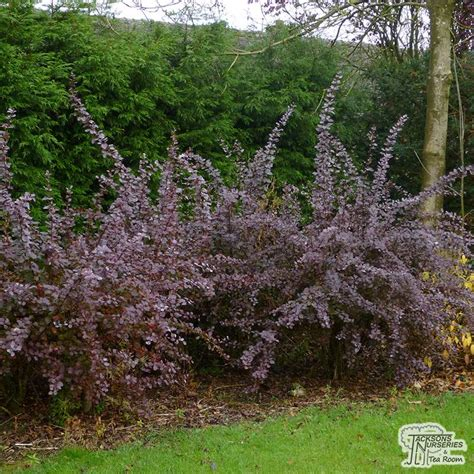 buy berberis  ottawensis  purpurea superba barberry