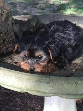teacup yorkies for sale in corpus christi 17 best images about t cup puppies for sale on teacup maltese