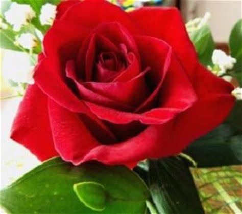 un jardin de rosas rojas c 243 mo cuidar un jard 237 n de rosas 8 pasos uncomo