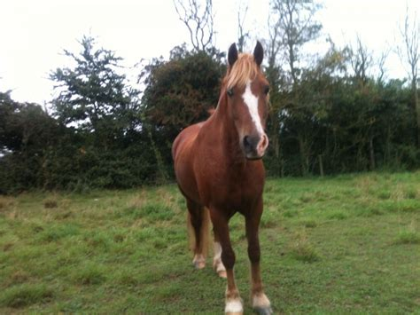 welsh section d cobs for sale welsh cob section d gelding 14 2hh worcester