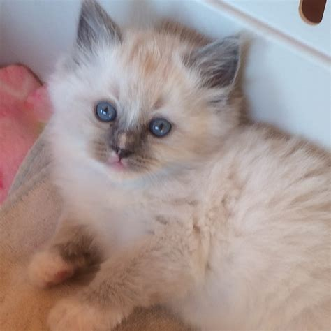ragdoll kitten price 20 best of ragdoll kittens price kittens wallpapers